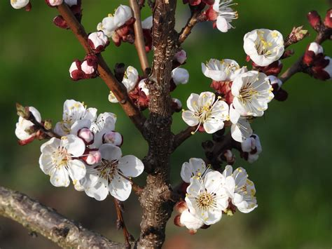Gardening: Late-blooming apricot tree varieties suited for ...