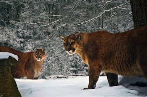 mountain lions  west virginia  forestwander nature