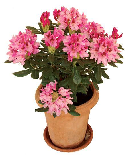 rododendro in vaso rododendro arbusto fiorito sempreverde fai da te in