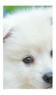 Cute White Puppy HD Animals Wallpapers   HD Wallpapers ...