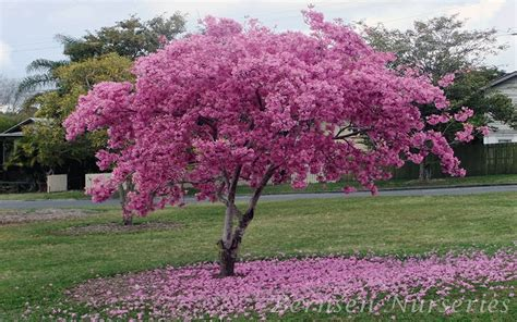 pink trumpet tree care related keywords suggestions for tabebuia