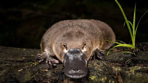 Iconic platypus could face extinction unless national ...