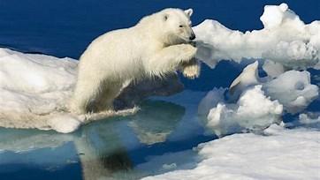 Image result for polar bear ursus maritimus