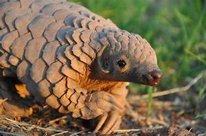 Cute pangolin baby pictures - Africa Geographic
