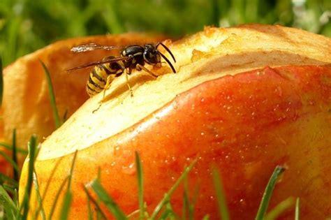 was machen wespen wespe faq die 12 wichtigsten fragen antworten zu wespen