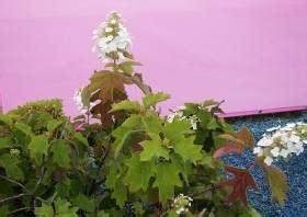 eichenblatt hortensie schneiden hortensien pflege schneiden hydrangea macrophylla