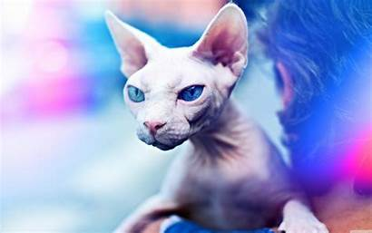 Sphynx Cat Kitty Bad Wallpapers Standard Wallpaperswide