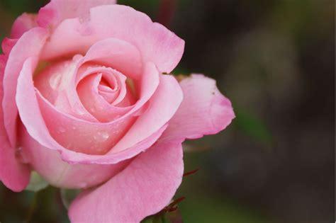 por  huelen tan bien las rosas estudio genetico lo