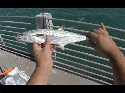 fort desoto pier fishing spanish mackerel youtube