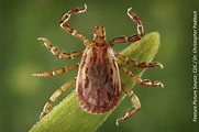 Clinical Diagnosis & Treatment of Rocky Mountain Spotted Fever
