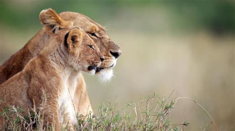 Nature, Animals, Lion, Baby Animals, Big Cats, Depth Of