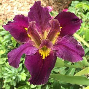 louisiana iris louisiana iris care bulbs and fact sheet