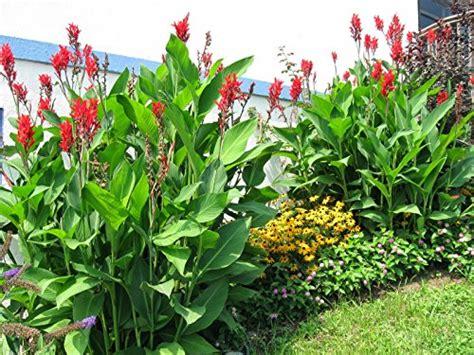 Cannas Plants Amazoncom