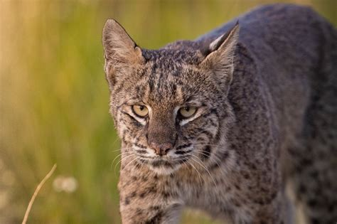 bobcat  bit man attacked dog tested positive