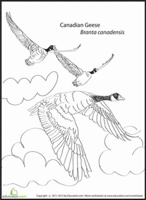 canadian geese coloring page kindergarten literature