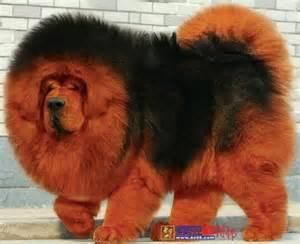 Hairy tibetan mastiff himalayan guard dog
