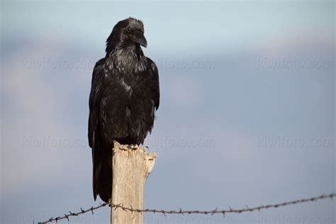 Common Raven Pictures And Photos  Photography  Bird  Wildlife  Nature  Christopher Taylor