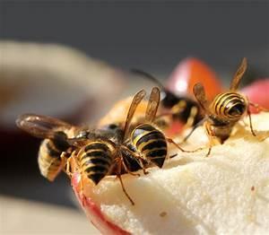 Kupfer Gegen Wespen : wespennest fake h lt wespen fern frag mutti ~ Watch28wear.com Haus und Dekorationen
