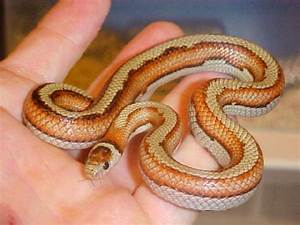 Kingsnake.Bay Area Snakes Bay Nature. California Kingsnake ...