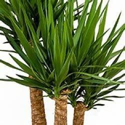 Yucca Palme Pflege : yucca palme palmlilie pflege ~ Eleganceandgraceweddings.com Haus und Dekorationen