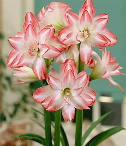 Amaryllis In Der Vase : gef llte amaryllis kollektion bl hende zimmerpflanzen ~ Lizthompson.info Haus und Dekorationen