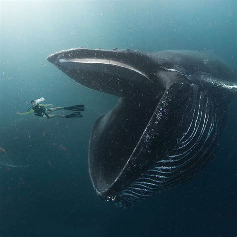 swallowed   whale