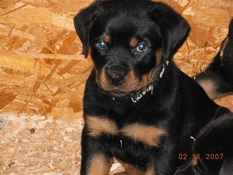images of rottweilers puppies www imgkid the image