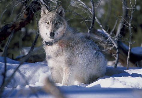 Wolf Encounter Audio Tale Wolf Encounter In Glacier Bay National Park
