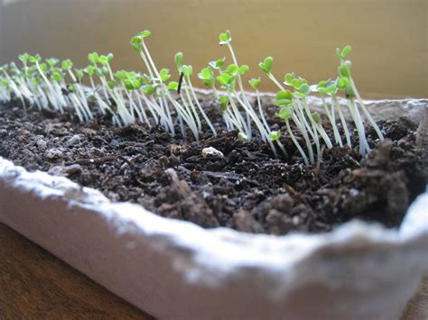 grow your own microgreens grow your own winter lettuce and microgreens eco snippets