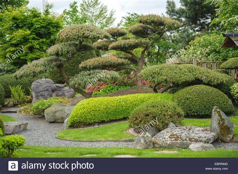 Japanischer Garten Kiefer by Latschenkiefer Mugo Pine Pinus Mugo Japanischer Garten