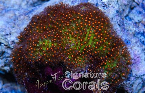 top  signature corals  jason fox coral frags