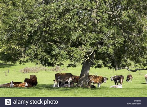 Cows Rest Under Tree For Shade Field Thames Head
