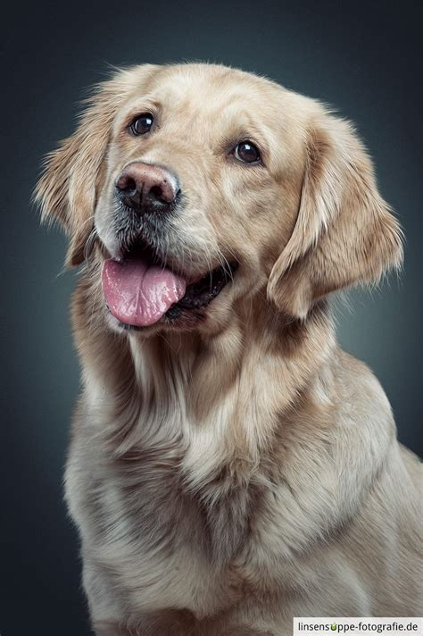 Holly Golden Retriever Lady This Is A Portrait Of
