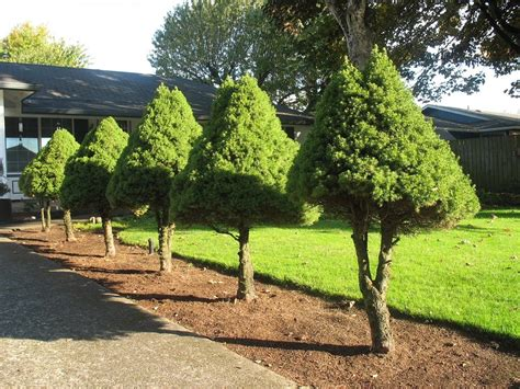small evergreen trees lovely small evergreen trees for landscaping 9 landscaping with small trees newsonair org