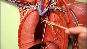Lymphatic System Anatomy  Body Plaque Model