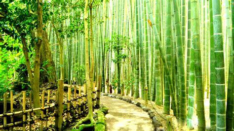 Bamboo Forest  Japan Kamakura  Download Hd Wallpapers