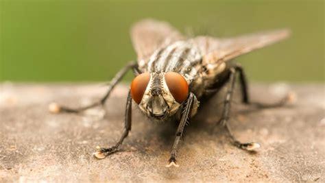 Hijacking Houseflies To Monitor Disease Outbreaks