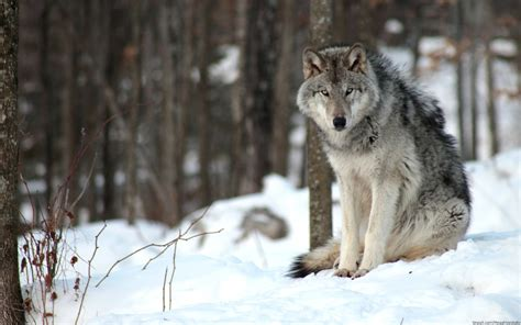 1080p Alpha Wolf Wallpaper by Wolf Hd Wallpaper 77 Images