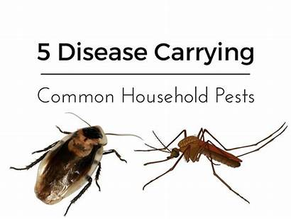 Common Pests Household Disease Carrying Kaboutjie Health