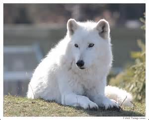 White Wolf Animal