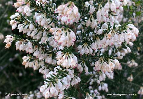 erica fiore erica arborea pianta della macchia mediterranea