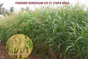 Crop Production::Forage Crops::Fodder Cholam