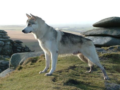 northern inuit dog breed guide learn   northern