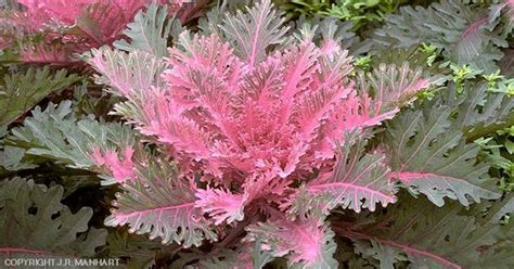 ornamental kale perennial ornamental cabbage plants pinterest cabbage cabbage plant and hardy perennials