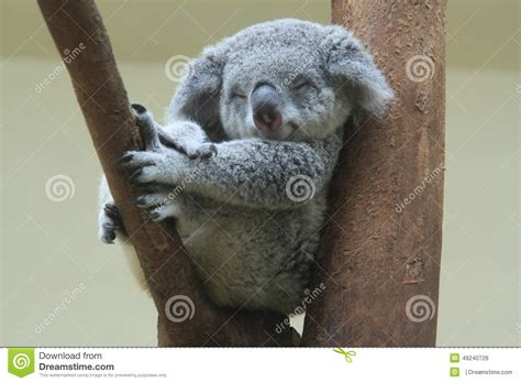koala resting  sleeping   tree stock photo image