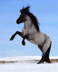 Blue Roan Icelandic Horse