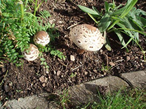 Pilze Im Garten Bestimmen by Pilze Im Garten