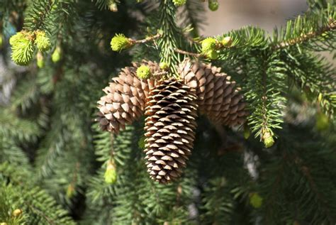 adorable diy pine cone decorations   easily