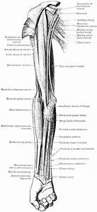 Front View Of Arm Muscles