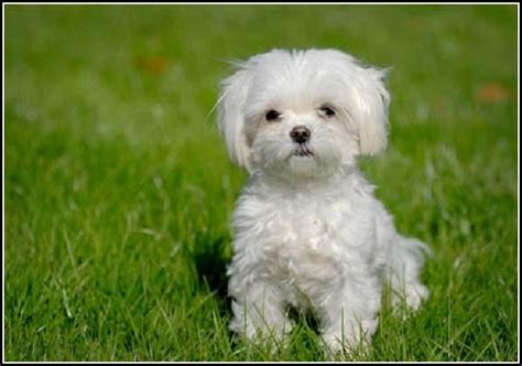 small dogs that don t shed small dogs that don t shed pet photos gallery